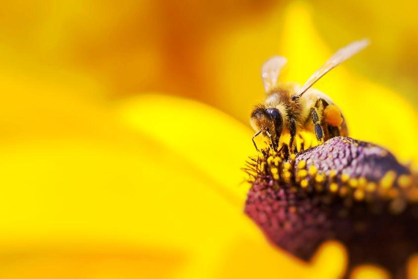 Bienenpatenschaft übernehmen - Foto einer Biene als Bestäuber von Blumen und Nutzpflanzen