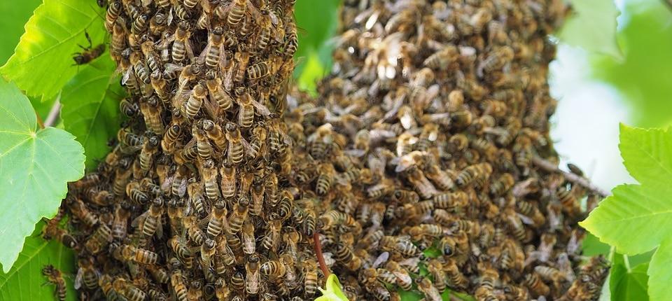 Bienenschwarm im Baum entdeckt