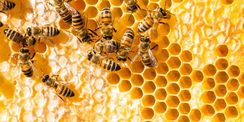 Honigbienen auf Bienenwabe sind interessante Tiere zum Beobachten im eigenen Garten