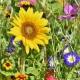 Bild einer Blühwiesen Patenschaft Bienenweide mit Sonnenblume und vielen Blumen