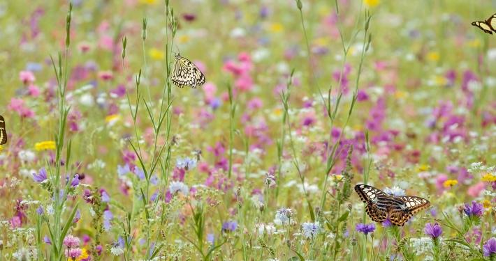 Wilde Blühwiese mit Schmetterlingen - Artenreichtum fördern mit einer Blühwiesenpatenschaft