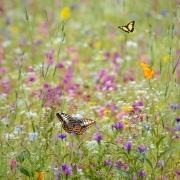 Blühwiese mit Schmetterlingen als Produktbild für die große Blühpatenschaft