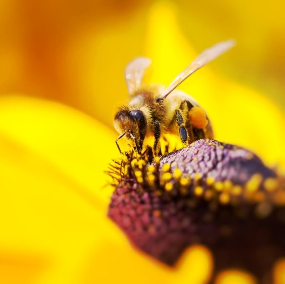 Produktbild für eine Bienenpatenschaft mit einer Biene auf gelber Blüte