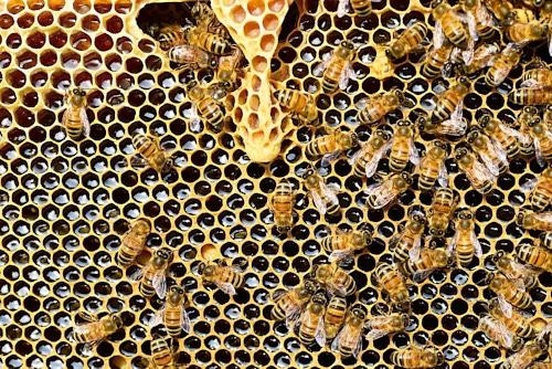 Bienenwabe mit Bienen im Naturwabenbau statt Mittelwände, gefüllt mit Honig