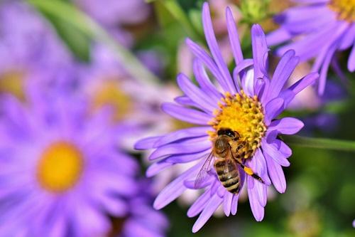 Was ist Bio-Honig - Honigbiene auf lila Blume sammelt Nektar und Pollen